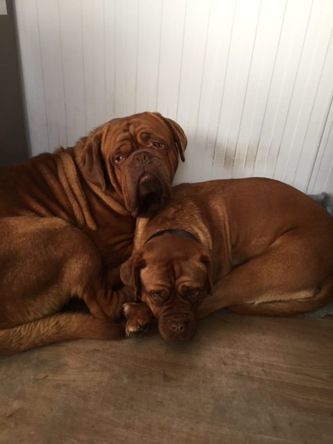 fudge and Boyce brown dogs sleeping hawthorn pet supplies dog food